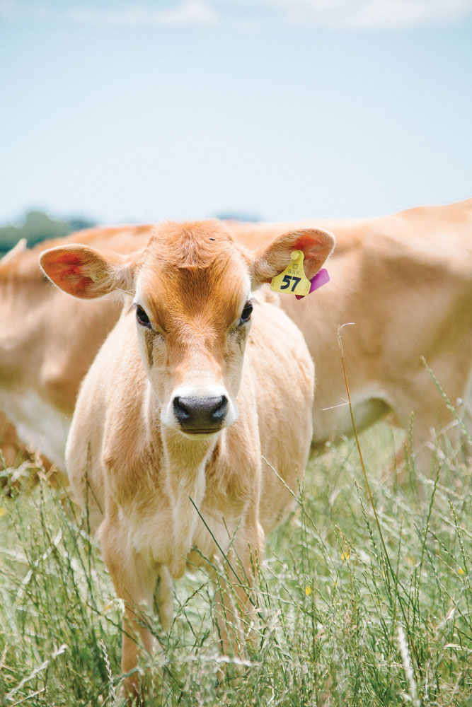 A jersey cow in Pongakawa