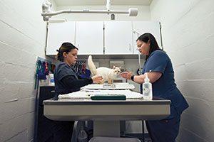 Jennifer Bennett and an assistant weigh a small cat