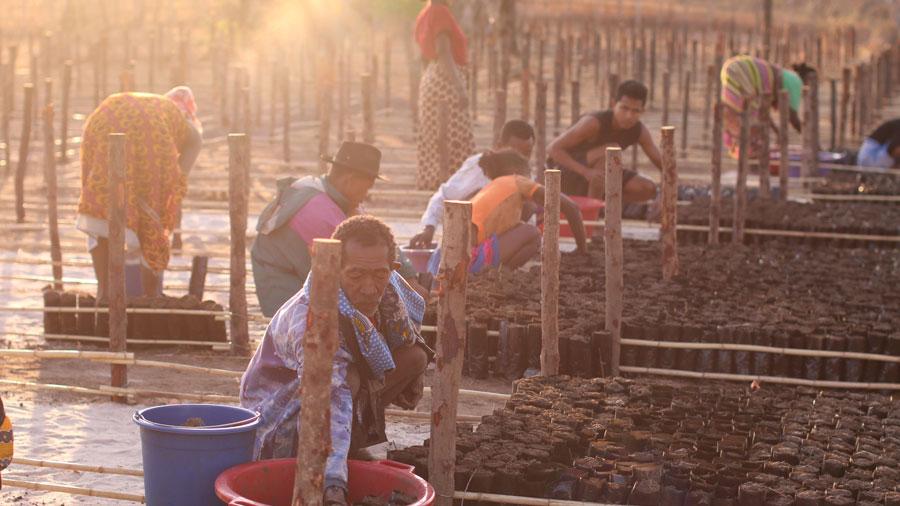 papamena planting